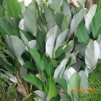 pohon pisang kalatea calathea pisang pisangan tanaman