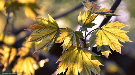 Gold Autumn Wallpapers by Wallpaper Gold Leaves Autumn Free Desktop