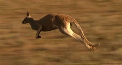 Tail Kangaroos Leg Extra Kangaroo Walking Animals