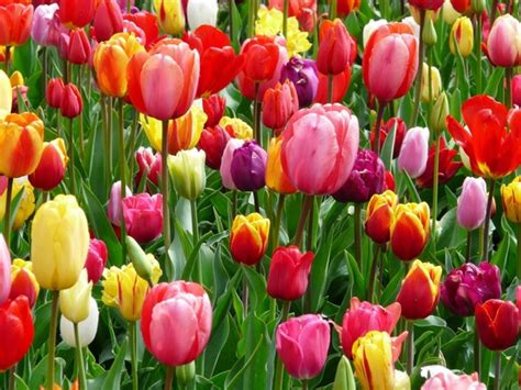 Hd Tulip Picture by Tulip Free Stock Photos 687 Free Stock Photos