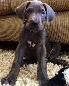Baby Great Dane Puppy