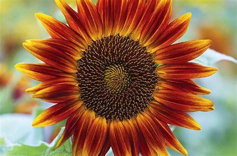 Top 10 Sunny Sunflower Varieties | Flower Garden - Birds ...