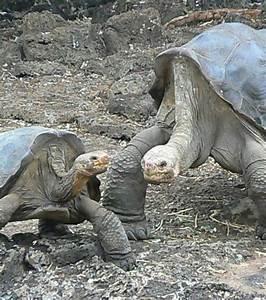 Il Avait Mis : le dernier repr sentant d 39 une esp ce de tortue g ante est mort ~ Maxctalentgroup.com Avis de Voitures