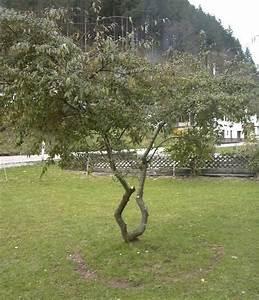 Was Ist Das Für Ein Baum : was ist das f r ein baum cotoneaster x watereri baumkunde forum ~ Buech-reservation.com Haus und Dekorationen