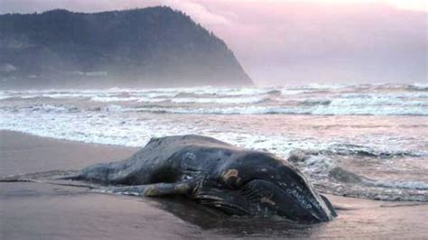 juvenile humpback whale washes up dead on oregon beach