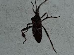 Können Kakerlaken Fliegen : was ist das f r ein insekt kakerlake wer kann helfen ~ Watch28wear.com Haus und Dekorationen