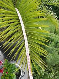 Welche Erde Für Palmen : palmen welche palme ist das 25 jahre alt ~ Watch28wear.com Haus und Dekorationen