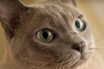 tonkinese cat breed   tonkinese cats