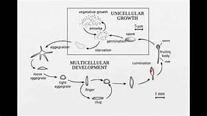 Life cycle of slime mold - YouTube