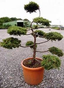 best garten bonsai kaufen contemporary kosherelsalvador With garten planen mit bonsai direkt in japan kaufen