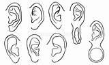 Different Ears Ohren Satz Verschiedene Drawing Ear Lobe Piercings Grunge Mod Earrings Rabbit Shapes Sizes Brain Isolated Anatomy Detailed Human sketch template