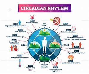 Circadian Rhythm Vector Illustration Infographic In 2020