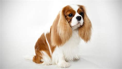 Cavalier King Charles Spaniel Pictures Information Temperament Characteristics Animals Breeds