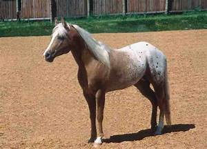 pony of the americas   ... Deckhengst der Sunranch - POABC ...