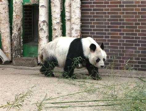 Zoologischer Garten Berlin Panda by Datei Berliner Zoo Bao Bao 1 Jpg