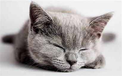 Kitten Sleeping Cute Cat Wallpapers Desktop Gray