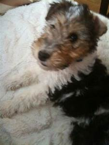 Wire haired fox terrier | Fox Terriers ;) | Pinterest
