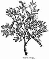 Acacia Senegal Coloring Plantation Sketch Template Plant Medicinal Illustrations Catechu Pflanze Bildquelle Genus sketch template