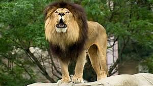 Lions Return To Rwanda Geek Reply