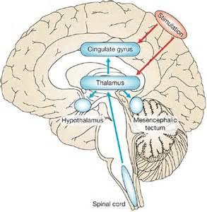 Brain Motor Cortex Diagram