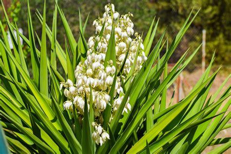 yucca palme ableger yucca palme ist die yucca palme giftig plantura