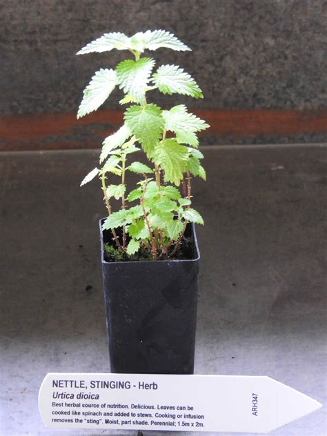 Stinging Nettle Plant Urtica Dioica All Rare Herbs