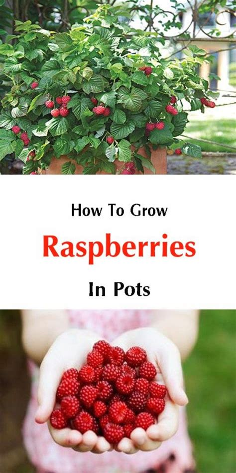 grow raspberries in a pot ready for an annual raspberry rainfall in your backyard learn to grow raspberry bushes or to