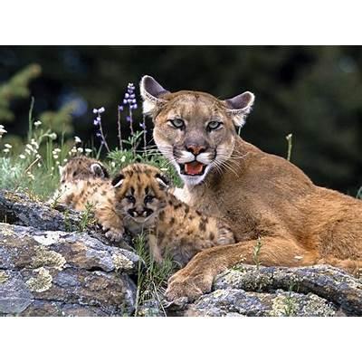 Alli's Alley: Wildlife Wednesday: Puma Concolor