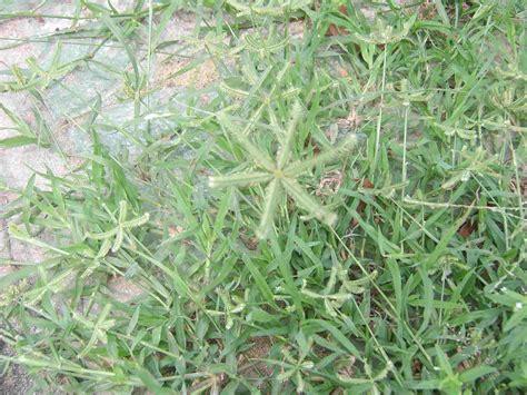 lawn grass scientific name crowfoot grass