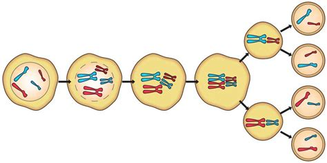 Meiosis Diagrams To Print