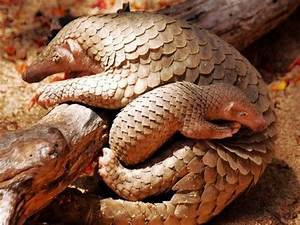 Mother and Baby Pangolin Mamma Pangolin's carry their ...