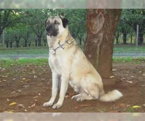 anatolian shepherd breed information  pictures