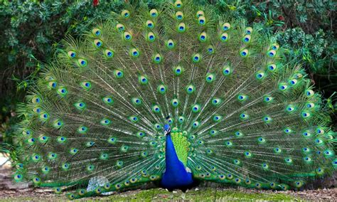 colorful peacock colorful bird peacocks spread feathers desktop