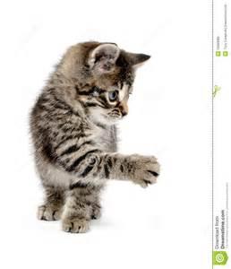Cute Baby Tabby Kitten