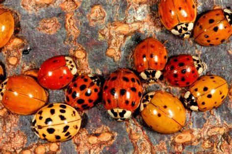 ladybug vs asian beetle ladybugs vs asian beetles thriftyfun