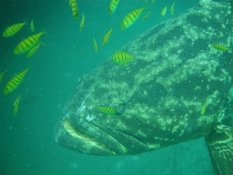 grouper goliath pacific status conservation colombia