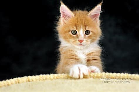 maine coon chats de papier peint maine coon beau fond d 233 cran de 7240467
