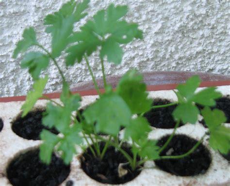 semina basilico in vaso quando si semina il basilico in vaso gallery of e semina