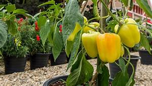 Gemüse Auf Dem Balkon : paprika pflanzen auf dem balkon und im garten ~ Lizthompson.info Haus und Dekorationen