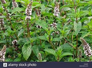 Peppermint flowering 'Mentha x piperita' Stock Photo ...