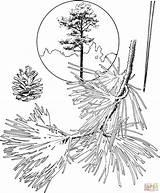 Pine Coloring Tree Trees Ponderosa Drawing Pencil Evergreen Printable Sketch Bristlecone Template Getdrawings Azcoloring Az Popular sketch template