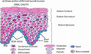 Shows A Cross Section Of Normal Buccal Mucosa Illustrating