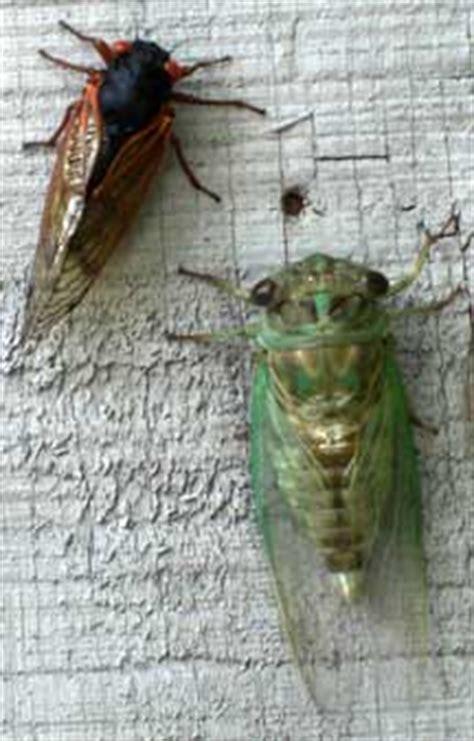 periodical  annual cicada  whats  bug