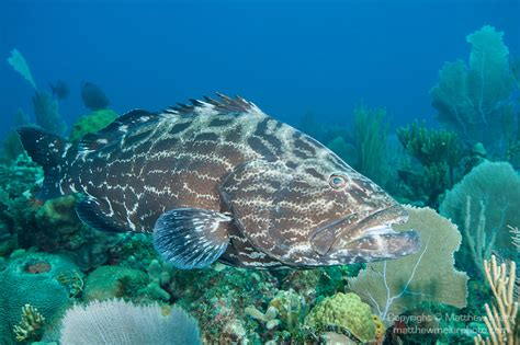 grouper fish cuba wiki someordinarygamers wikia