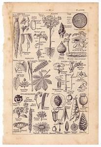 Vintage Plant Illustrations
