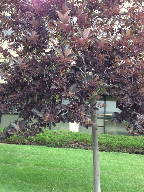 tree with purple leaves identification what is this small tree with purple leaves and small green fruits gardening