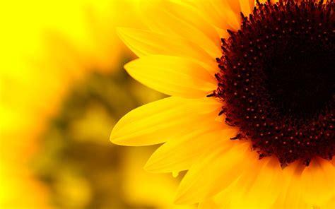 sunflower tumblr wallpaper desktop background