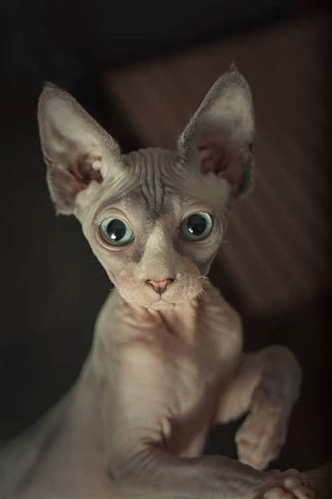 50+ Cutest Hairless Sphynx Cat Photos Golfiancom