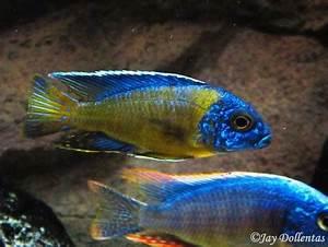 cichlids Blue Neon