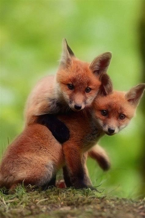 cute fox babies wallpaper iphone pure cuteness baby